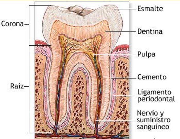 descripcion-diente