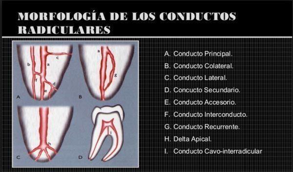 morfologia-conductos-dentales